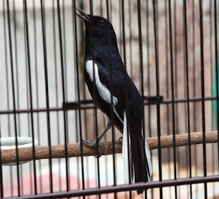cara merawat burung,suara kacer isian cililin,download suara kacer isian cililin,