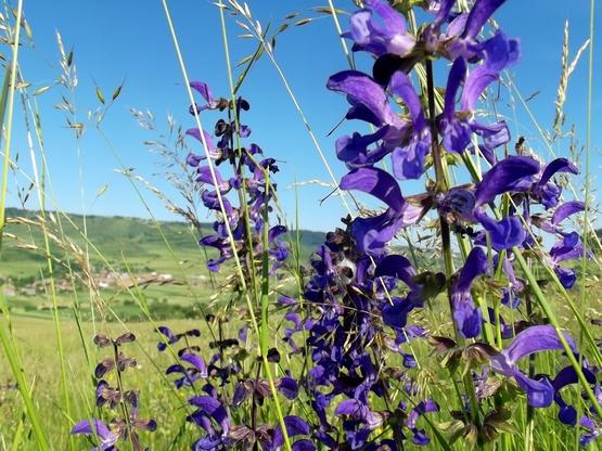 Lila mezei virágok