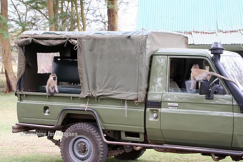 Vervet monkeys inspecting a car