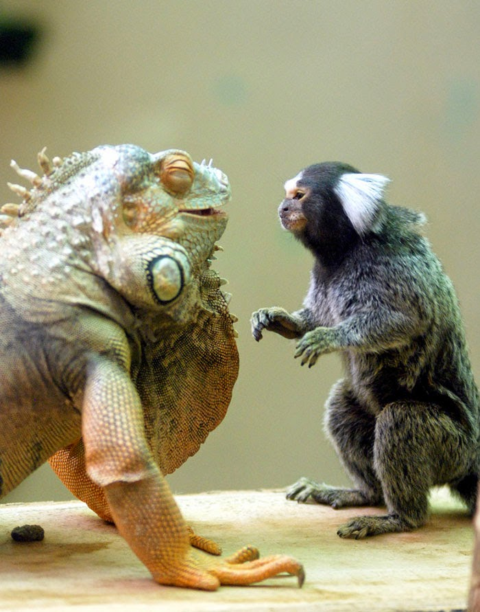 #18 Green Iguana And Marmoset - Unusual Animal Friendships That Are Absolutely Adorable!
