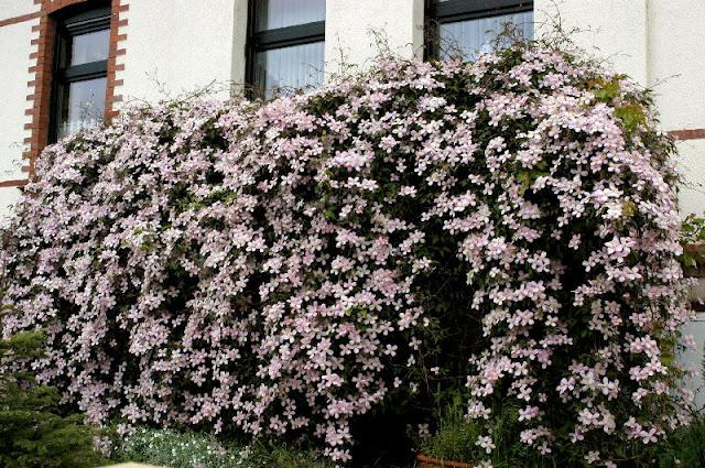 clematis montana trepadeira perfumada sementes flor pra. Black Bedroom Furniture Sets. Home Design Ideas