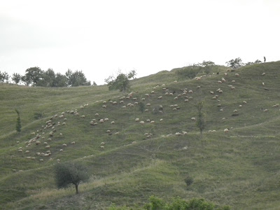 Flock of Sheep in the evening on Romanian hills