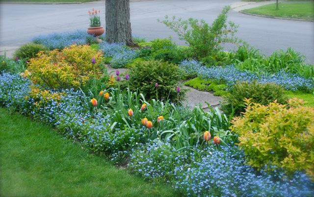 Tulip 'Princess Irene' and Tulip 'Cum Laude' with Spirea 'Goldflame' and forget-me-nots (Myosotis) on our corner by the street in our small garden