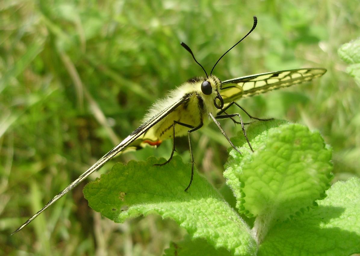 Bolboreta Papilio machaon preparada para despegar
