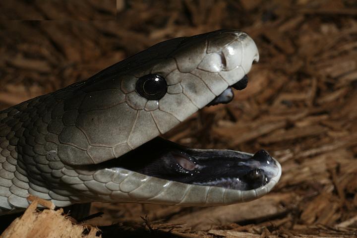 snake wallpaper dangerous - photo #7