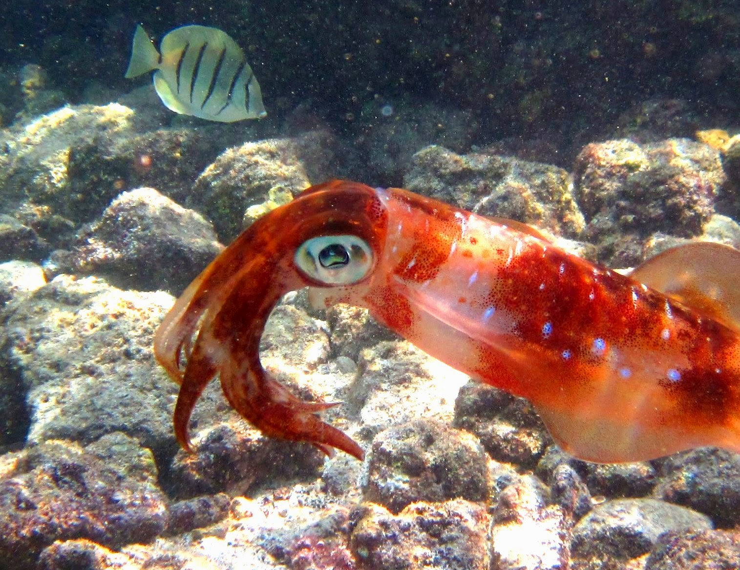 Kona Snorkeling, Fish Watching and Other Adventures: March 2015