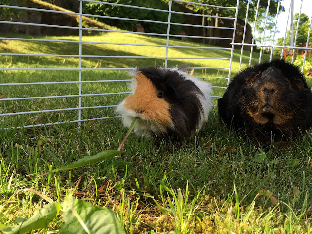 Hamish and Ralph, guinea pigs, cute guinea pigs