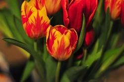 Tulpen, die Tai-Pane der Liebe...