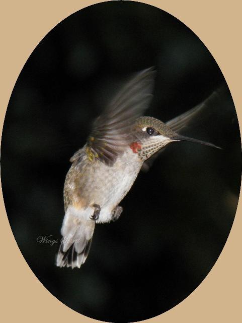 Wings Spirit Amazing Hummingbird