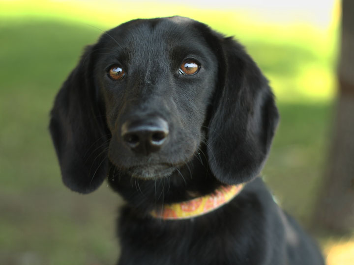 Download image Black Labrador Retriever Beagle Mix PC, Android, iPhone