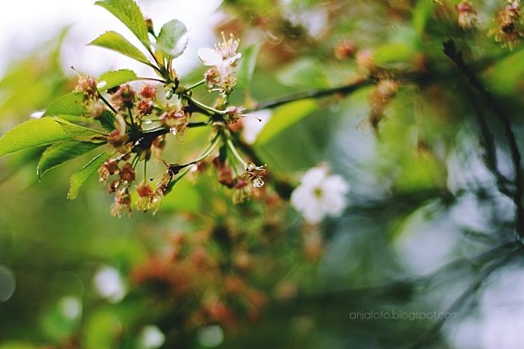 fotografia przyrodnicza, wiosna, kwiaty, wiosenne, kwitnąca wiśnia, bokeh, bokeh photography