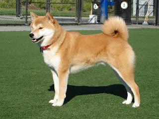 Gambar Anjing Akita