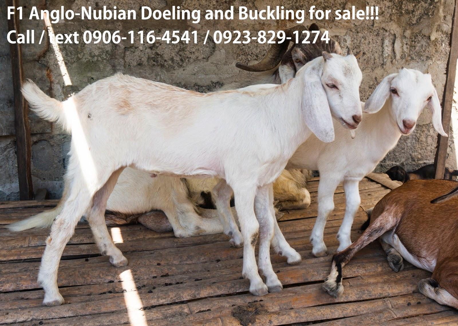 k goat farm by farmer jan goats for sale