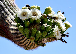 Saguaros start blooming in May and fruit mid-summer. Their large milky-white flowers open at night and then close by early afternoon the following day. Bats and doves are their primary pollinators.