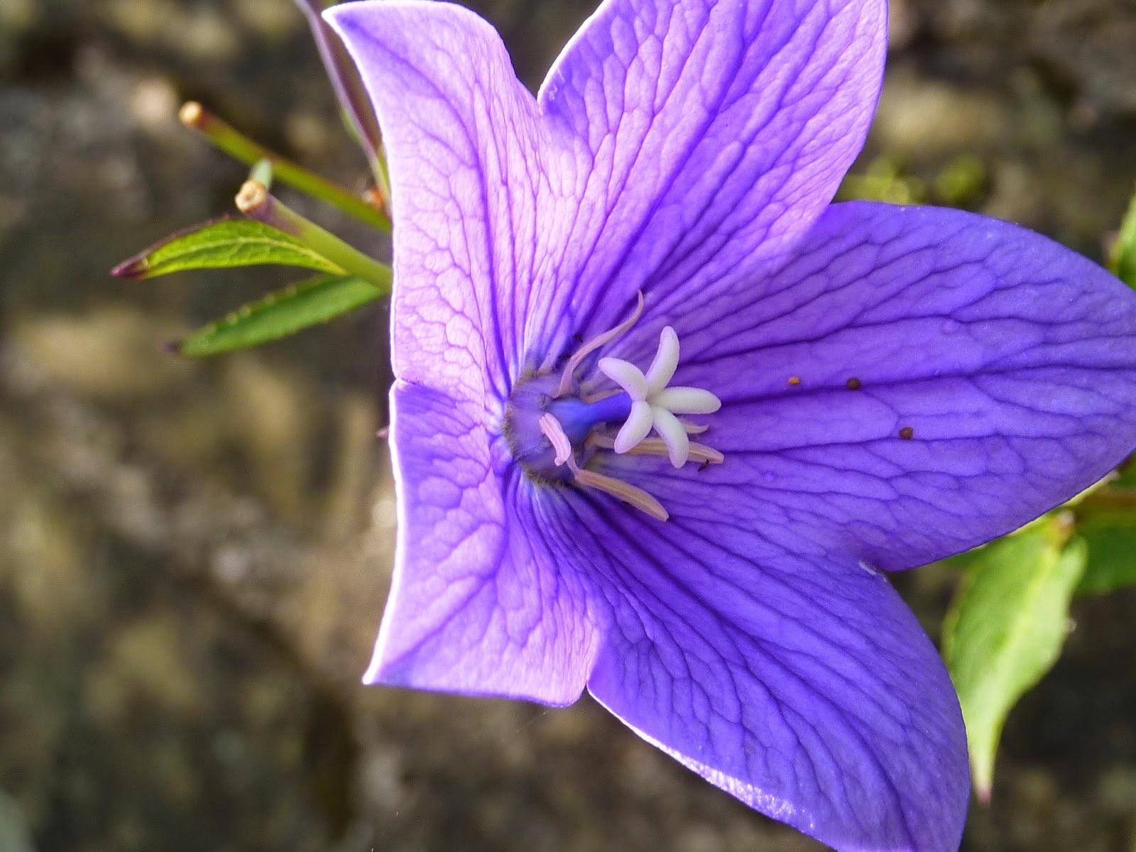 Hình ảnh hoa cát cánh