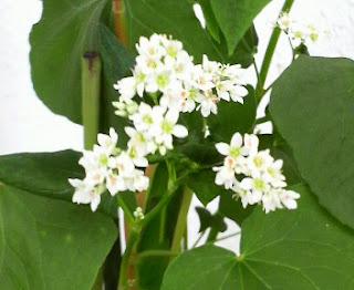 そばの花2011.09.05