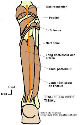 anatomie  de :Nerf sciatique, nerf fibulaire commun et nerf tibial  Nerf+tibial
