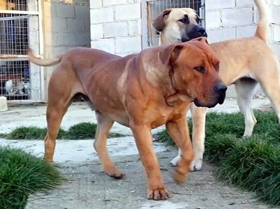 LEARN THE TRUTH ABOUT WORKING DOGS: The working breed- Boerboel