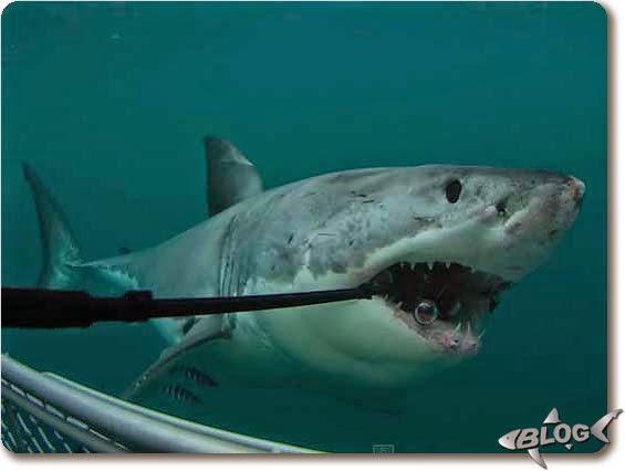 tiburón muerde cámara GoPro