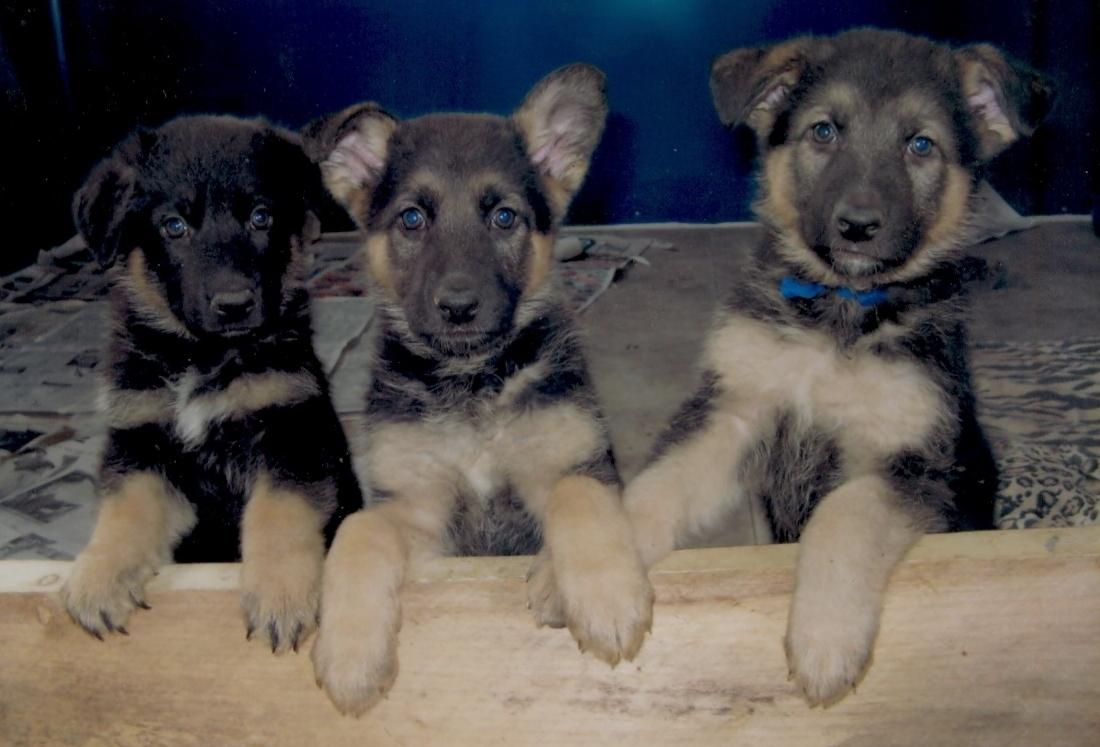 Cute Puppy Dogs: german shepherd puppies Georgian Shepherd Puppies