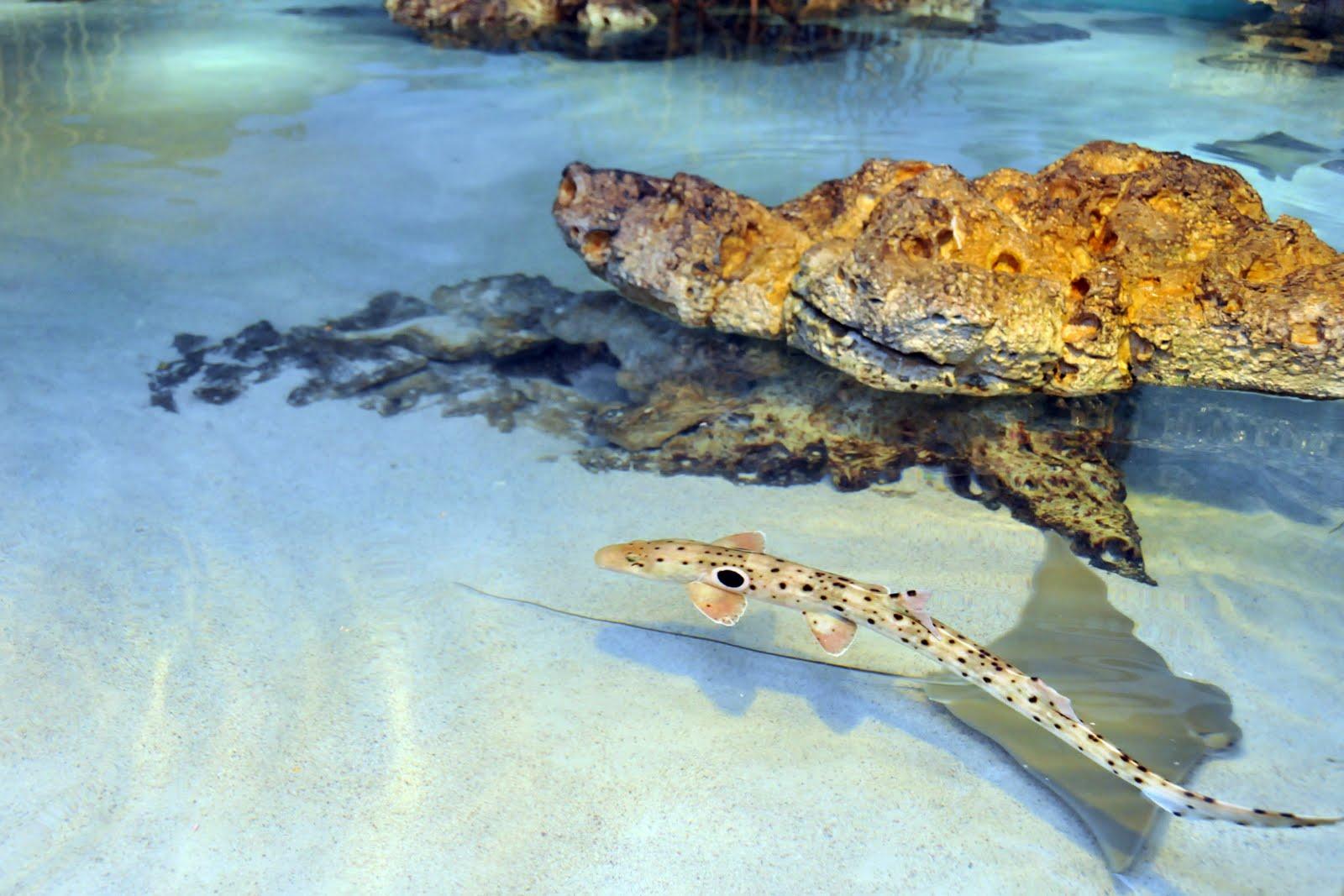 epaulette shark tank - photo #5