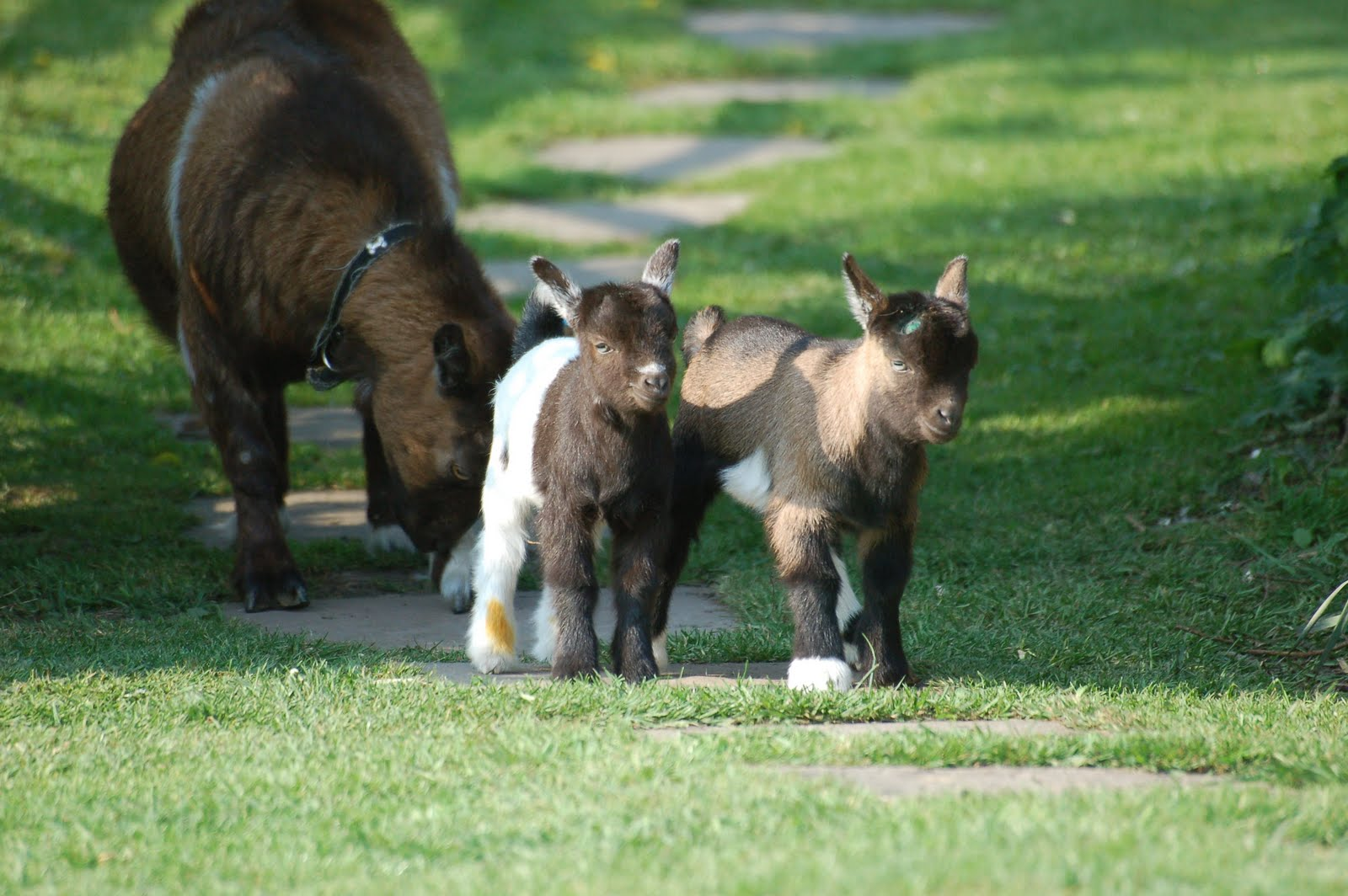 Maiden Castle Cottages - Pygmy Goats: Pygmy Goat kids for sale