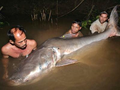 Ramcell: Ikan emas dan lele terbesar di dunia di temuka