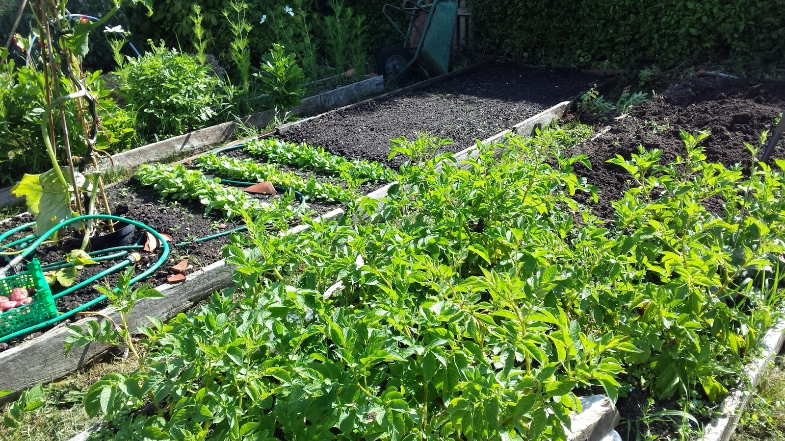 Climbing courgette and spinach