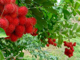 Amazing benefits of rambutan fruit for health