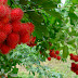 Amazing Benefits of Rambutan For Beauty and Healthy