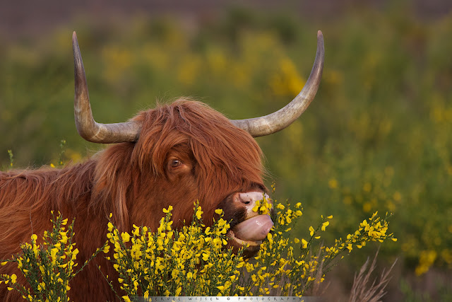 Schotse Hooglander eet van Brem - Scottish Highlander eating Broom flowers - Bos Taurus ss