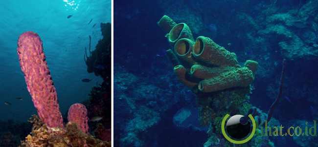 Sponge atau Porifera (580 juta tahun)