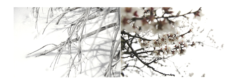 amandiers en fleur branches dans la neige