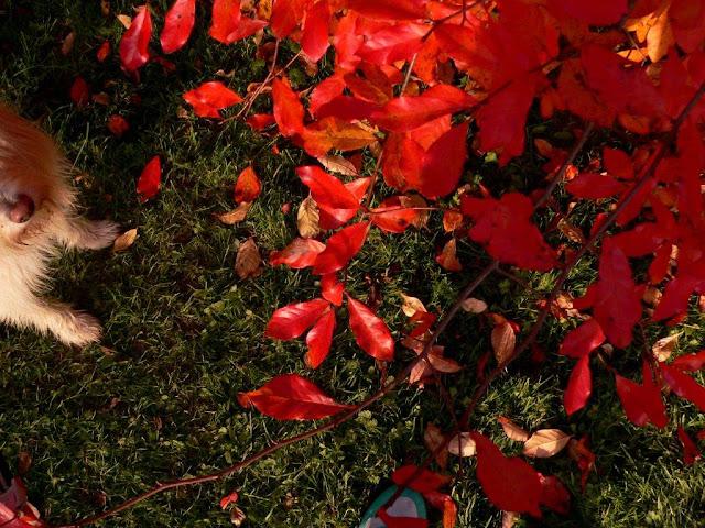 Herbst Blätter rot Wiese Hund