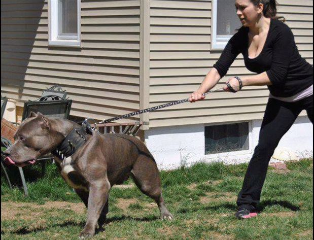 pit bull dogs wallpapers pitbull muscles youtube