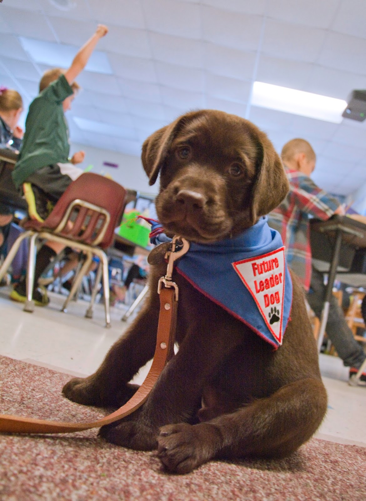 A cute little chocolate lab puppy is sitting facing the camera. He is wearing the blue Future Leader Dog bandana and a brown leash is attached to his collar. In the background are second-graders at their desks, the one boy dressed in a green sweatshrit has his hand raised.