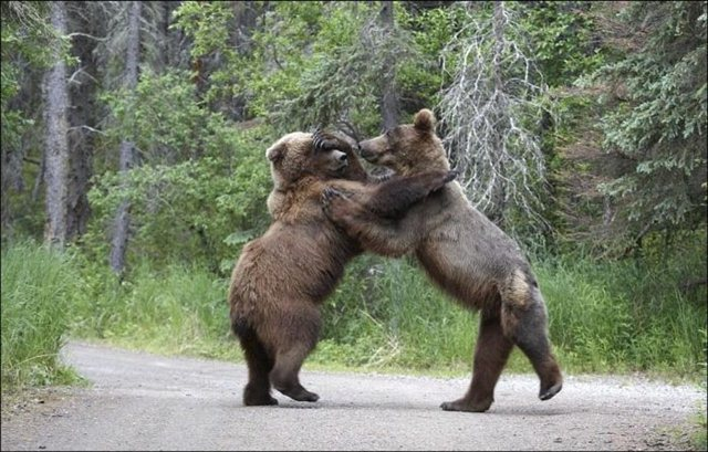 Bears fighting pictures, animals fighting, wild animals