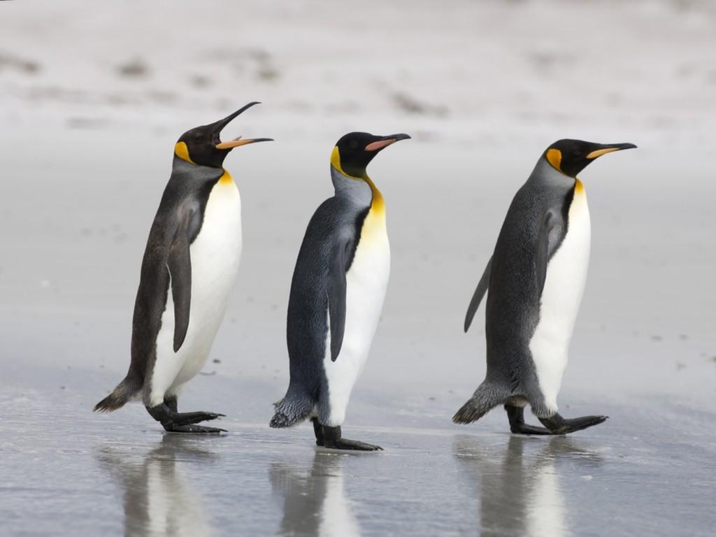 animal unique king penguin. Black Bedroom Furniture Sets. Home Design Ideas