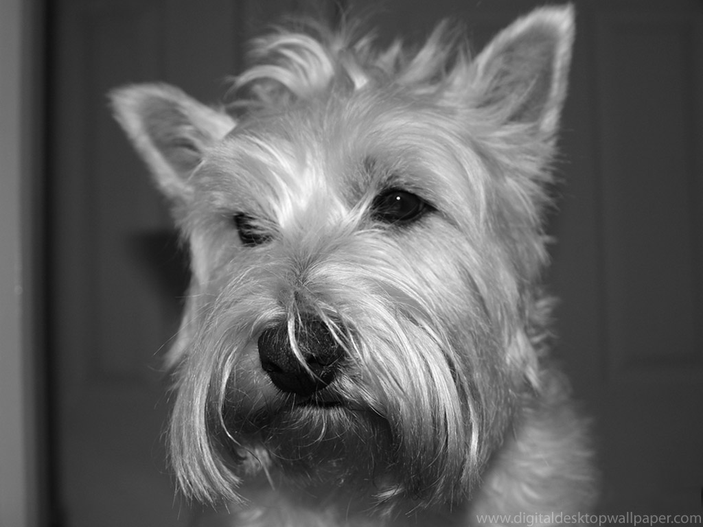 Funny cute westie dogs images pictures 2013 pets cute and docile - Pictures of westie dogs ...