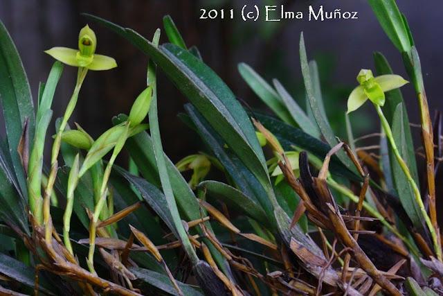Maxillaria sp