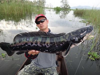 Kinh nghiệm câu cá lóc – Cách móc mồi câu cá lóc
