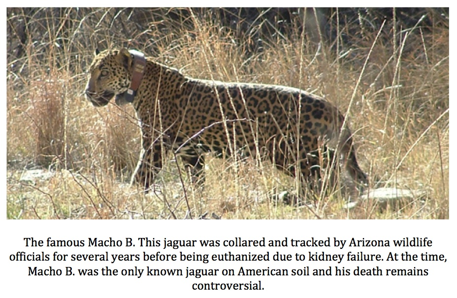 Lovely As Is My Habit, My Mind Began To Decipher What, If Anything, Increased  Jaguar Sightings In Arizona And New Mexico Might Mean For Those Of Us In  Texas.