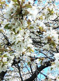 Körsbärsträden utslagna den 18 maj 2021.