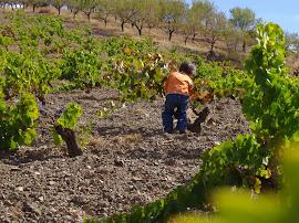 YAÑEZ. Alonso y Ciriaco en la selección de la vendimia. Catando uvas con mi hijo. Antes de vendimia