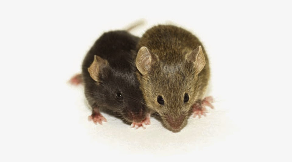 Drug Dramatically Reduces Symptoms of Diabetes in Mice