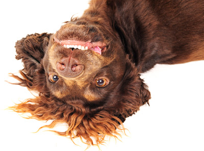 upside down dog grinning brown, photo, pictures smile smiling