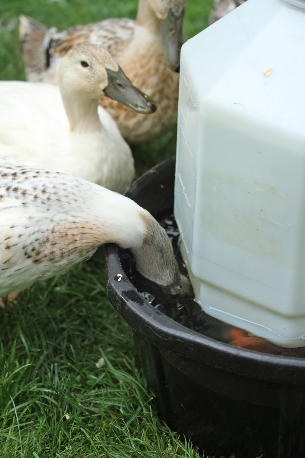 Makin It With Frankie Watering Solution For Ducks
