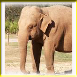 gajah_asia_6