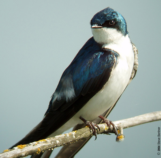 Swallow With Nest