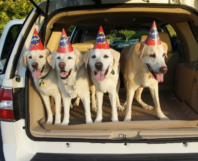 Labs Desma, Monte, Dakota and Culver celebrate Culver's birthday.